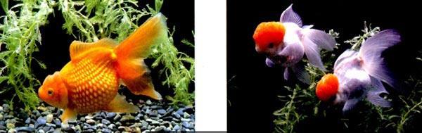 活动目标 1、欣赏、感受金鱼的优美姿态以及色彩变化之美。 2、学习按笔和提笔,使用中锋和侧锋作画。 3、尝试画出不同动态的金鱼。 活动准备 1、幼儿已初步认识过金鱼,实物金鱼若干。 2、国画工具材料。 活动过程 1、引导幼儿观察鱼缸里的金鱼,感受金鱼的优美姿态与色彩变化。 教师:金鱼身上的颜色是什么样的?有什么变化?它们是怎么游的?我们来学一学! 2、师幼共同讨论、探索金鱼的画法。 (1)探索金鱼眼睛的画法。 教师:金鱼眼睛大大的,凸鼓出来,我们可以用勾线的方法来画。 (2)探索金鱼尾巴的画法。 教师:金